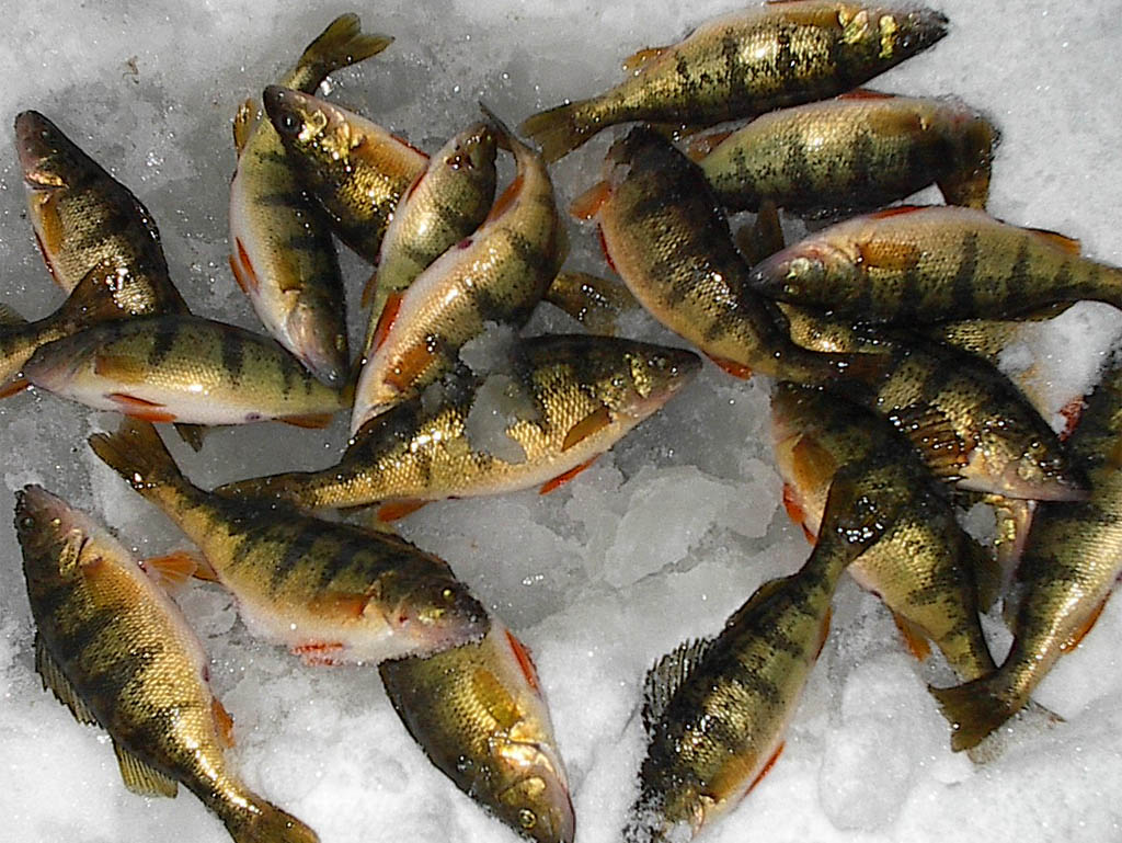 Image gallery ice fishing perch for Ice fishing perch